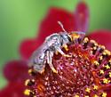Which little gray bee, please? - Lasioglossum