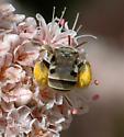 Anthophorula - female