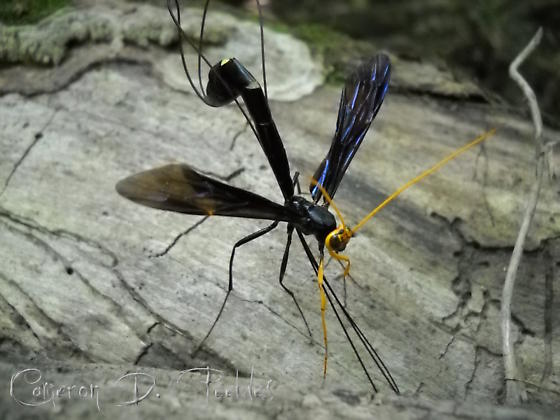 Giant Ichneumon - Megarhyssa atrata - female