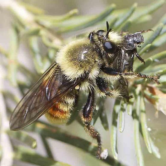 Robber Fly/Bee? - Laphria fernaldi