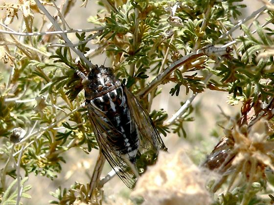 New Mexico Cicada Species - Hadoa bifida - male