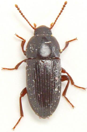 W140 - Eutochia crenata
