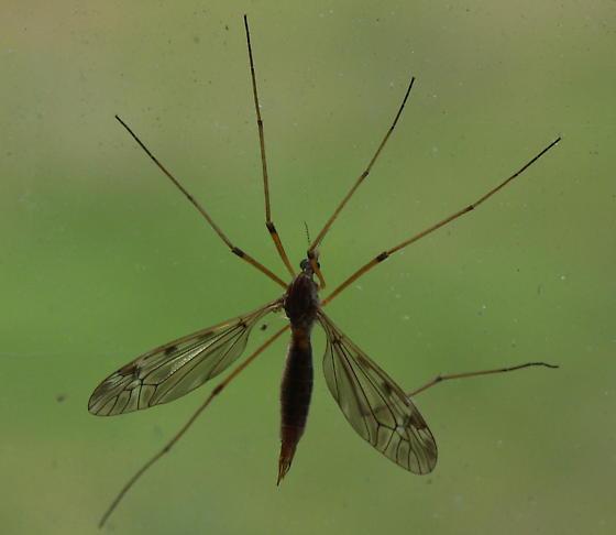 Sooty Crane Fly? - Tipula fuliginosa - female