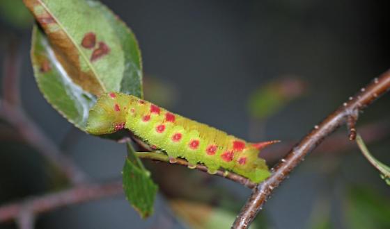 Unknown sphinx moth caterpillarS - Paonias myops