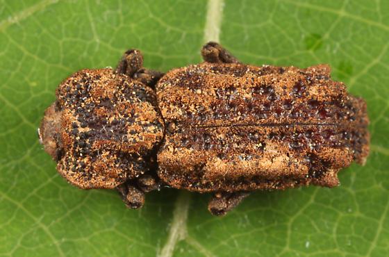 Ironclad Beetle - Phellopsis obcordata