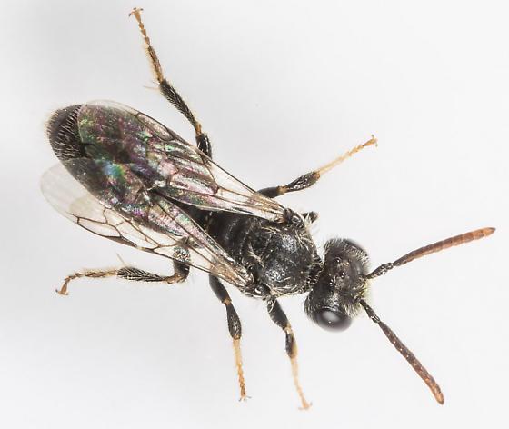 Bee - Panurginus