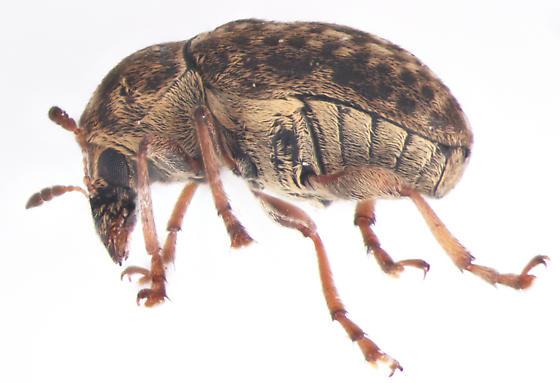 Anthribidae, lateral - Trigonorhinus limbatus