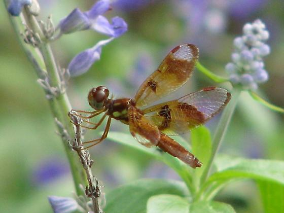 Dragonfly ID - Perithemis tenera - female