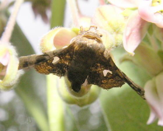 Eyed Dysodia Moth - Hodges#6078 - Dysodia oculatana