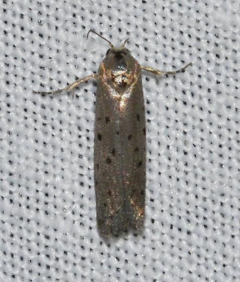 Homadaula anisocentra – Mimosa Webworm Moth - Homadaula anisocentra