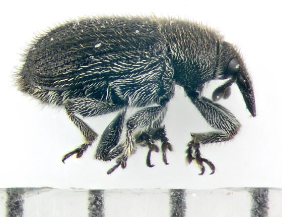 Curculionidae, lateral - Rhinusa antirrhini