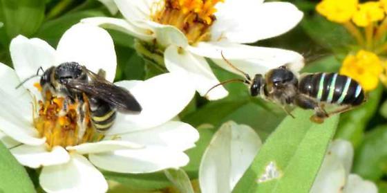 Green vs Yellow - Nomia nortoni - male - female