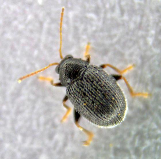 Tiny Beetle - Epitrix fuscula