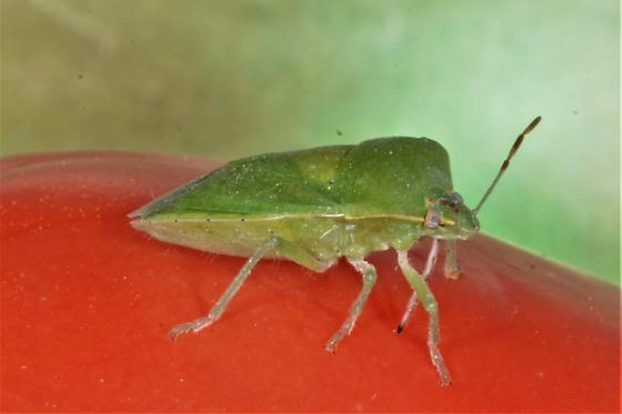 Southern Green Stink Bug, Nezara viridula, feeding on tomato