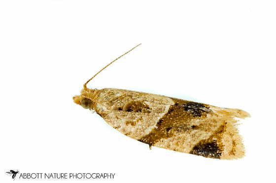 moth - Clepsis