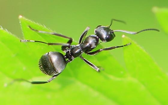 black ant - Formica subsericea