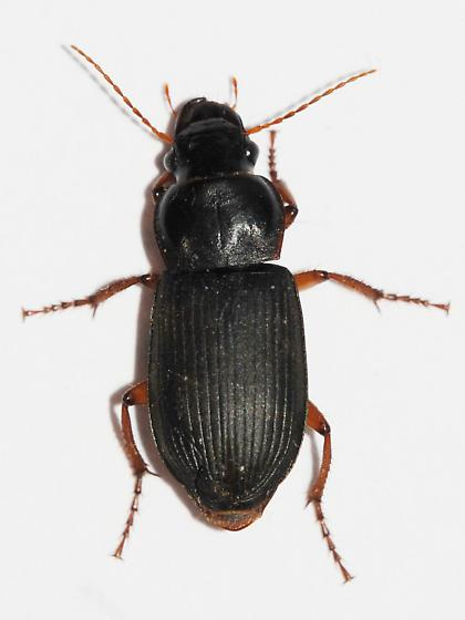 Carpet beetle - Harpalus rufipes
