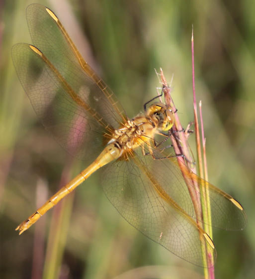 Sympetrum costiferum? - Sympetrum costiferum