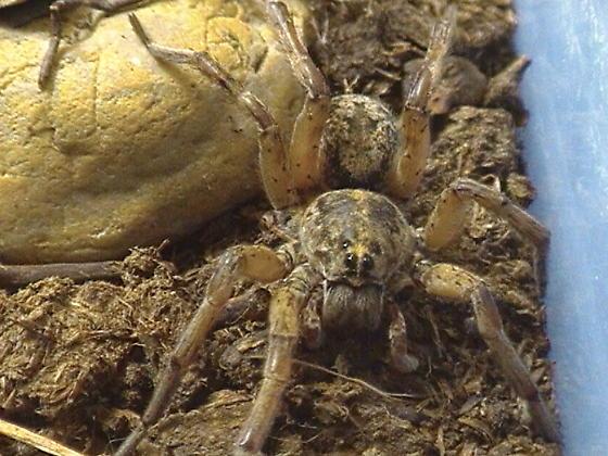 Hogna Wolf Spider Identification - Tigrosa grandis - male