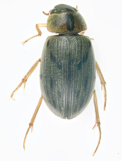Hydrophilidae, dorsal - Berosus