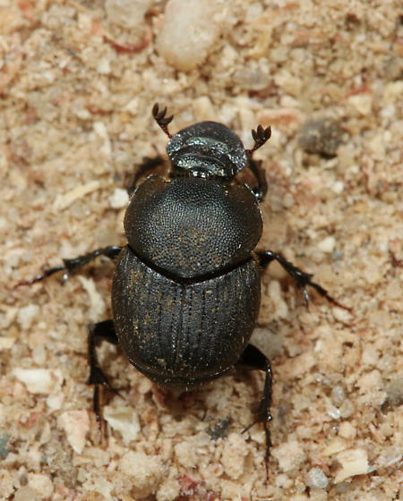 Onthophagus hecate