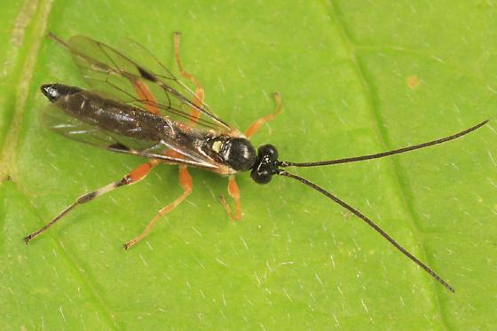 Ichneumon - Pimpla aquilonia - male