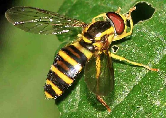 fly (Syrphidae) - Xanthogramma flavipes