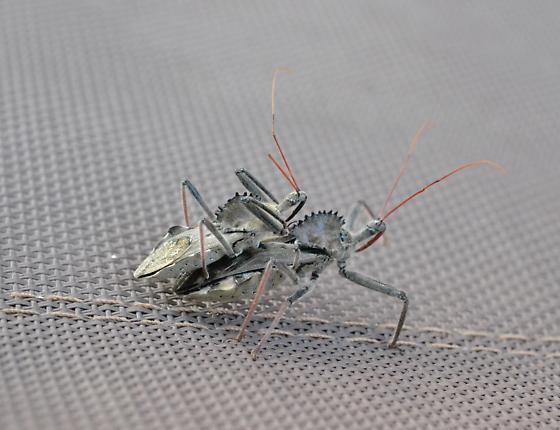 Garden insect - Arilus cristatus