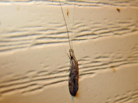 Another caddisfly?