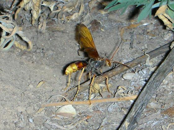 Catface Killer - Poecilopompilus algidus
