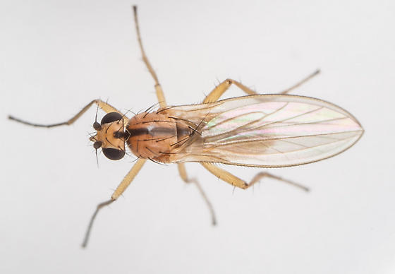 Fly - Lonchoptera bifurcata