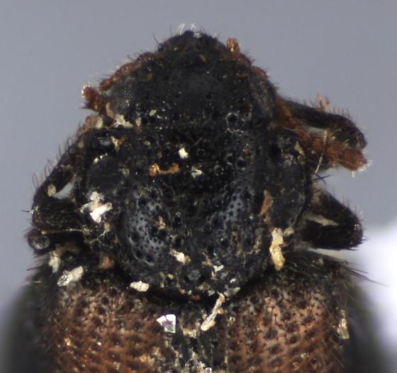 Punctate beetle - Laricobius rubidus