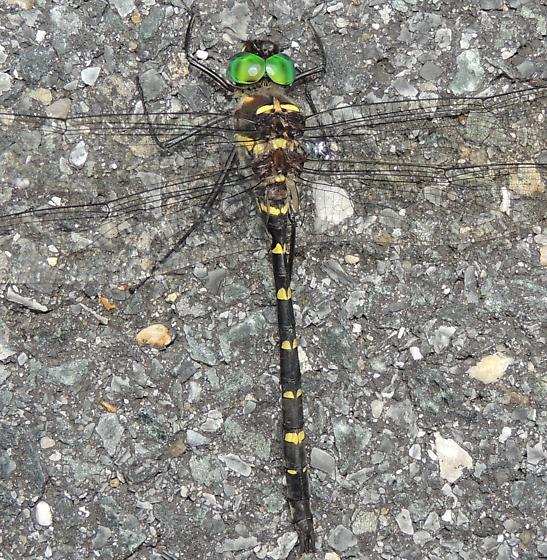 Dragonfly sp? - Macromia taeniolata - male