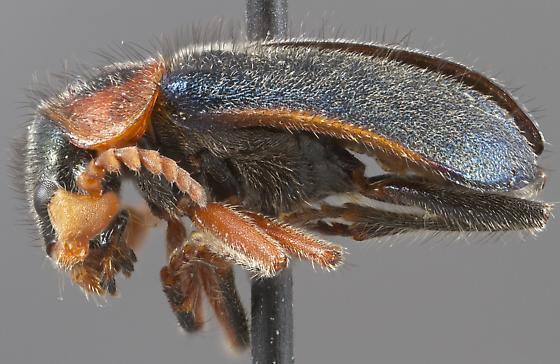 Collops marginicollis - male