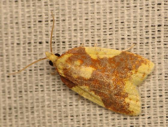 Sparganothis pulcherrimana