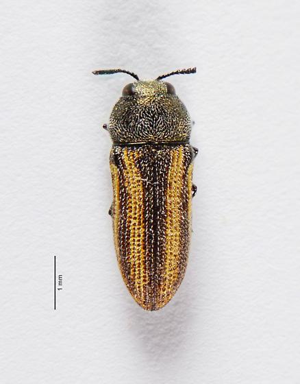 Acmaeodera? - Acmaeodera quadrivittatoides