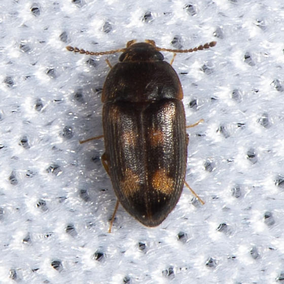 Mycetophagus ? - Litargus sexpunctatus