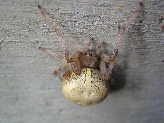 Big Spider - Araneus marmoreus - female