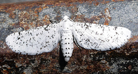 spotted white moth - Acanthotoca graefii