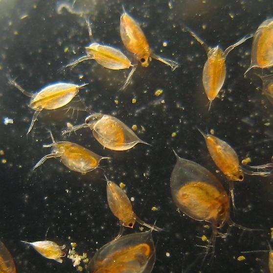 Water Fleas - Daphnia - BugGuide.Net