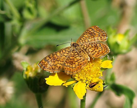 Arizone Metalmark from SE Arizona - Calephelis arizonensis - female