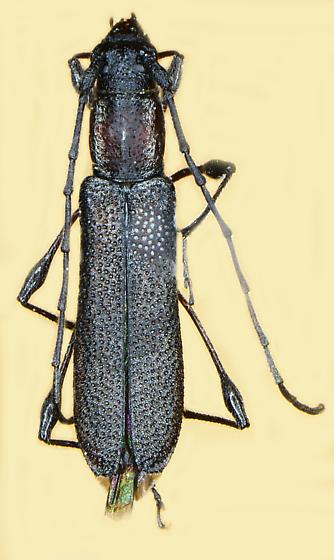 Rhopalophora bicolorella
