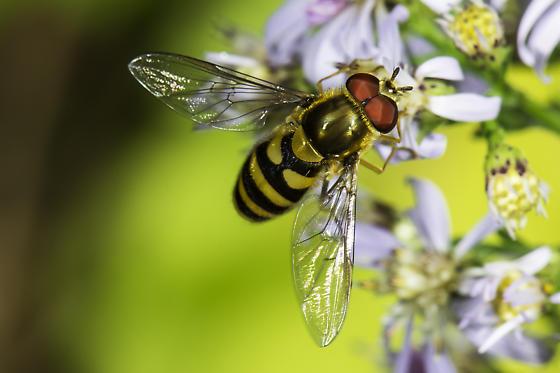 Syrphidae  - Syrphus - male