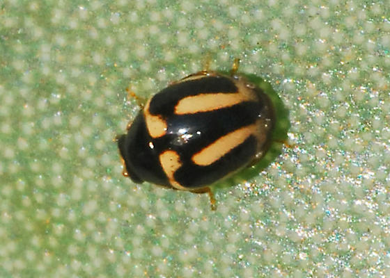 Lady beetle on cactus with cochineal - Hyperaspis trifurcata