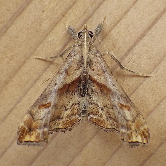 Erebidae: Pathis angulalis - Palthis angulalis