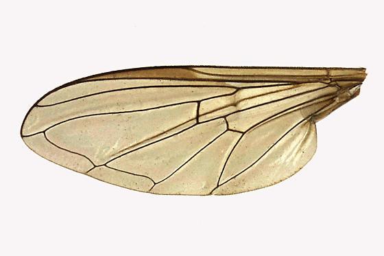 Syrphid Fly - Dasysyrphus laticaudus