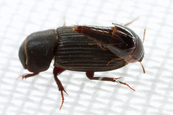 beetle with hitchhiker - Ataenius alternatus