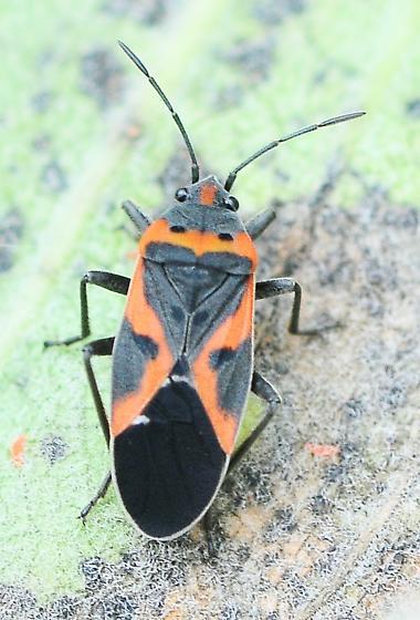 Lygaeus kalmii - Small Milkweed Bug - Lygaeus kalmii