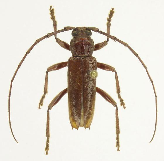 Parelaphidion aspersum - male