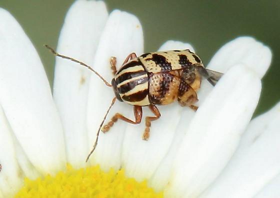 beetle Mont 0623 - Cryptocephalus leucomelas